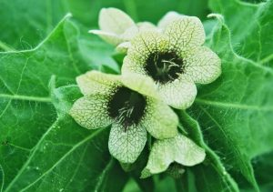 Hyoscyamus niger homeopathy medicine for alcoholism.