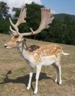 Dama Dama - The Fallow Deer 1