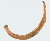 Hookworm parasite found in human intestine