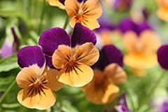 180px-Orange_violet_pansies