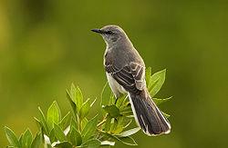 The Joking Mockingbird Who Sulked 1