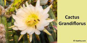 cactus homeopathic medicine for pleruodynia