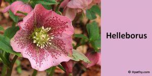 helleborus ho medicine for meningitismeopathy