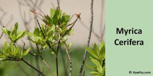 Myrica Cerifera homeopathic medicine for liver cirrhosis