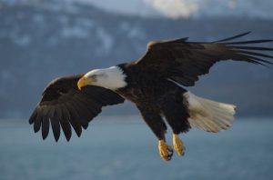 Bald_Eagle