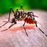 mosquito-chikungunya