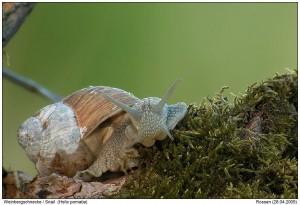 Nov Snail