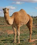 camelus dromedaries