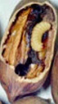Pecan Weevil1
