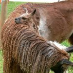 Llamas – A Homoeopathic Challenge