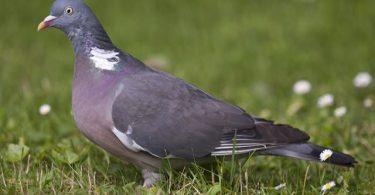 columba palumbus pigeon