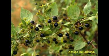 Atropa belladonna. homeopathy medicine for schizophrenia