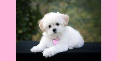 White Little Poodle Dog Wallpaper