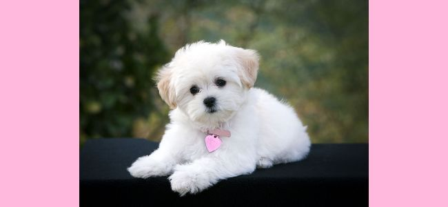 White Little Poodle Dog Wallpaper