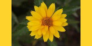 cdbfadbfeecb yellow flower pictures of yellow flower