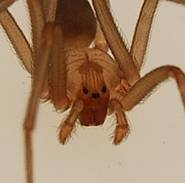 Brown Recluse Spider- A Lesser Known Spider Remedy 2