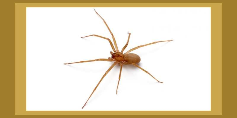 Brown Recluse Spider- A Lesser Known Spider Remedy