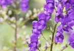 aconite homeopathic medicine for laryngitis