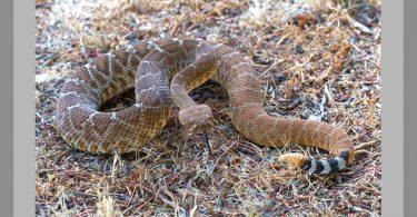 Snake Bite - Rattlesnake 1