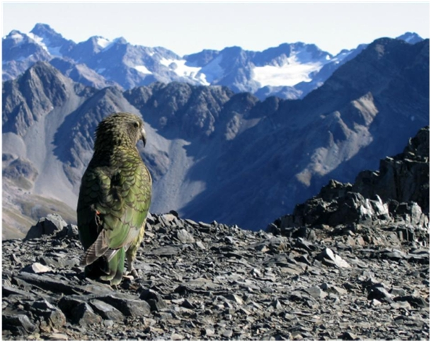 KEA - Nestor notabilis - The Birth of a Homeopathic Remedy 4