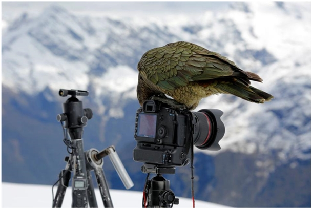 KEA - Nestor notabilis - The Birth of a Homeopathic Remedy 9